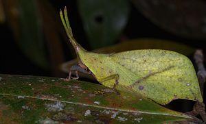 Trigonopterygoidea - Leaf grasshopper (Systella sp.) from Malaysia