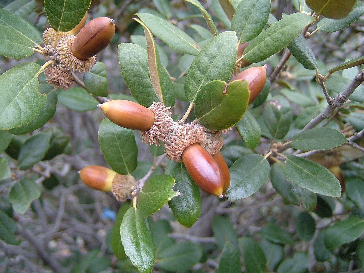 Quercus Alnifolia Wikispecies