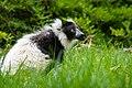 Lemur (26618635147).jpg