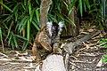 Lemur (36475843194).jpg