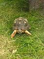 Leopard Tortoise 02.jpg