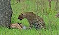 Leopard with kill (Panthera pardus) (5984424075).jpg