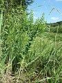 Lepidium campestre sl2.jpg