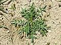 Lepidium squamatum sl36.jpg