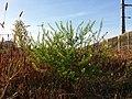 Lepidium virginicum (subsp. virginicum) sl3.jpg