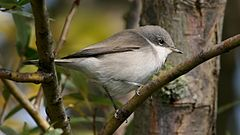 Lesser Whitethroat (Sylvia curruca) (4).jpg