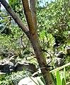 Lestes viridis. Willow Emerald Damselfly. - Flickr - gailhampshire (4).jpg