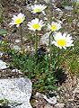 Leucanthemopsis alpina a4.jpg