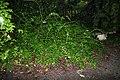 Leucothoe fontanesiana 3zz.jpg