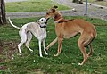 Levrier Greyhound 03.jpg