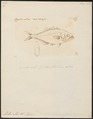 Lichia calcar - - Print - Iconographia Zoologica - Special Collections University of Amsterdam - UBA01 IZ13500459.tif