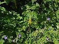 Ligularia fischeri (7814436970).jpg