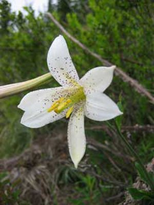 Lilium washingtonianum - Image: Lilium washingtonianum 3