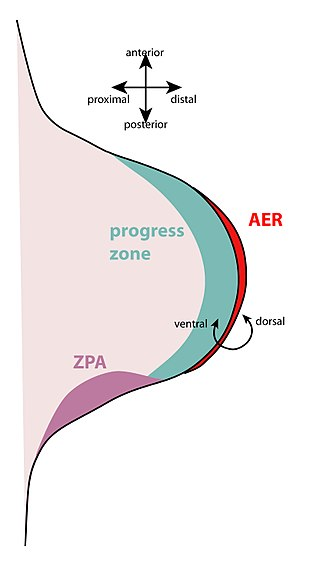 Zone of polarizing activity - The apical ectodermal ridge is a thickened epithelium at the most distal end of the limb bud.  The zone of polarizing activity is at the posterior part of the limb bud.