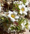 Linanthus demissus 2.jpg