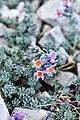 Linaria alpina.jpg