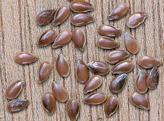 Ľan siaty (Linum usitatissimum) - semená