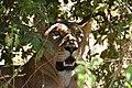 Lion, Ruaha National Park (1) (28923098002).jpg