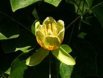 Liriodendron tulipifera - Tulpenbaum - Rheinpark Koeln.jpg