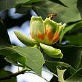Liriodendron tulipifera Syrets4.JPG