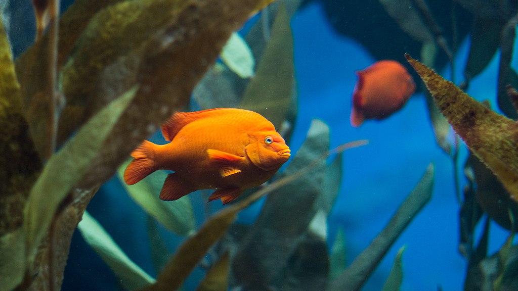 Hypsypops Rubicundus, poisson de l'océan indien dans l'Océanarium de Lisbonne - Photo de Bobo Boom