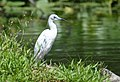 Little Blue Heron (juvenile) (35598094615).jpg