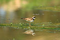 Little Ringed Plover PHOTO BY CHIU LU-SU LAN.jpg