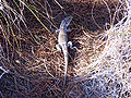 Lizard 15July2009 ParqueNaturalLagunasdelaMata.jpg