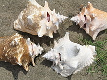 Four queen conch shells, all have a hole in the spire of the shell