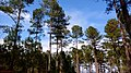 Loblolly pine shelterwood.jpg