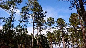 Shelterwood cutting - Delayed shelterwood method in loblolly pine (Pinus taeda) showing advanced regeneration.