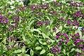 Lobularia maritima Easter Bonnet Violet 0zz.jpg
