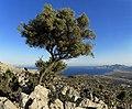 Lonesome olive tree - Einsamer Olivenbaum )LINDOS - panoramio.jpg
