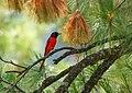 Long-tailed Minivet (Pericrocotus ethologus) (30600893646).jpg