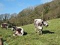 Longhorn Cattle, Cwm Gwaun - geograph.org.uk - 393250.jpg