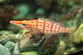 Longnose Hawkfish at the Shedd Aquarium.jpg