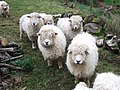 Longwool sheep, Heronslake - geograph.org.uk - 655806.jpg