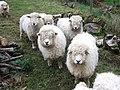 Longwool sheep, Heronslake - geograph.org.uk - 655806.jpg