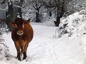 Loquiz vaca en el camino.jpg
