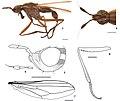Loxozus clavicornis (10.3897-zoologia.36.e26928) Figures 3–8.jpg