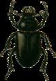 Lucanus cervus-f- Jacobson.png