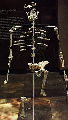 Nachbildung des Skeletts von Lucy im Museo Nacional de Antropología in Mexiko-Stadt