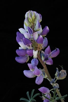 Lupinus variicolor (varied lupine).JPG
