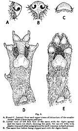 Lupusfoot.jpg