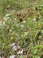 Luzula pallescens Simo, Finland 22.06.2013.jpg