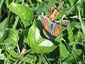 Lycaena alciphron ♂ - Purple-shot copper (male) - Червонец фиолетовый (самец) (41010235721).jpg