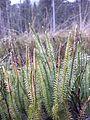 Lycopodium annotinum sl11.jpg