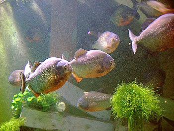 English: Aquarium of Lyon in France - Piranhas...