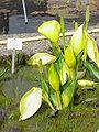 Lysichiton americanus0.jpg