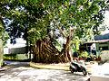 Một cây gừa cổ thụ.jpg